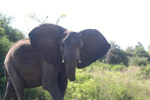 Dieser schöne Elefant verlor nach einem Kampf mit einem Löwen einen Teil seines Rüssels
